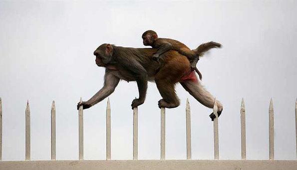동물원 가시 울타리를 탈출하는 원숭이 가족