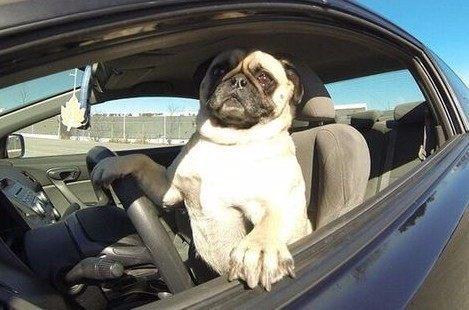 운전하는 강아지