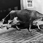 1968년 뉴욕 우유짜기를 거부하고 있는 젖소