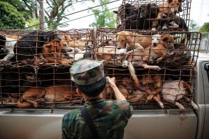 A collaboration between NGO agents and the Mekong River Navy led to a bust of this pickup containing 130 dogs just as it was about to load them on to a boat. The smugglers fled and escaped arrest. Every year an estimated 200,000 dogs are illegally smuggled across the River Mekong, from Thailand in to Laos, where they are driven by truck to Vietnam. Stuffed in to tiny crude metal cages they are then taken up to the slaughter houses and dog meat restaurants of Hanoi, Vietnam's capital. A dog bought in Thailand for as little as US$7 can then be sold for up to US$100 in Vietnam making it a very profitable trade for the mafia gangs that control it. NGO's and officials in Thailand Northeast are fighting hard to stop the trade and in 2013 alone have saved thousands of dogs from being smuggled across the border to Laos.