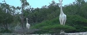 ▲ 케냐에서 포착된 흰색 기린 2마리. 이미지 출처 - 유뷰트 캡쳐