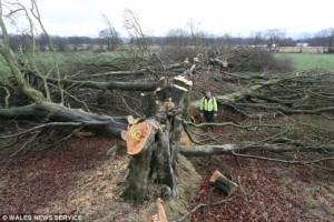 ▲ 홧김에 200년 된 나무를 베어버린 농부. 이미지 출처 - 나우뉴스