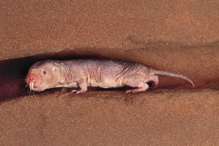 벌거숭이 두더지 쥐