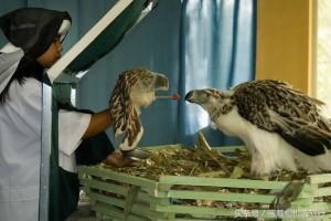 삼림파괴로 인해 자연에서 살아갈 수 없는 필리핀 독수리