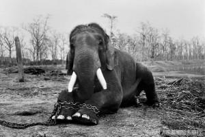 공원에 수감되어 있는 코끼리