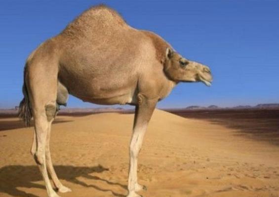낙타가 만약 목이 없다면? 출처 - 'baidu'
