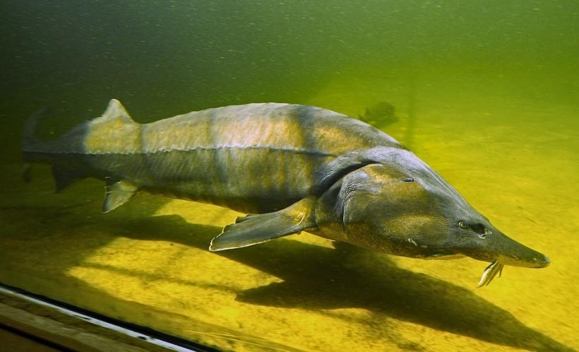 ▲ 철갑상어의 모습