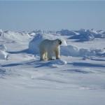 북극곰의 모습